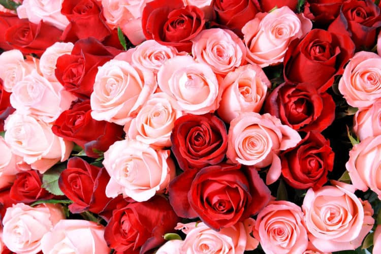 To Encash Roses Prior To Valentines Day, Indian Farmers Boost Rose Production In Pune