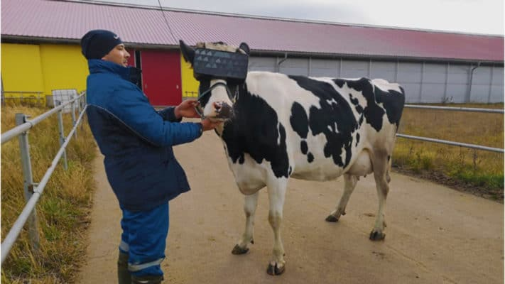 Russian farmers test VR glasses on cows to boost milk output