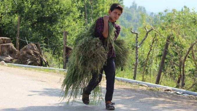 As schools remain closed due to Coronavirus-induced lockdown, a young boy is seen carrying grass on his shoulder as he walks towards his home in a remote village of southern Kashmir's Pulwama district.