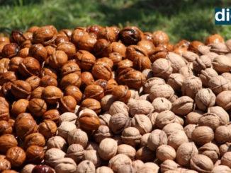 Walnut cultivators in Kashmir hope for govt's market intervention - Kashmir News -DilPaziir -Digpu